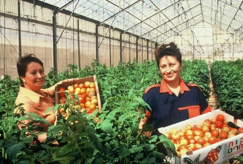 Tomates-Negev