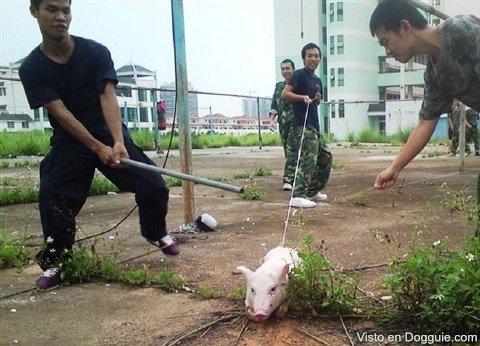 Cerdos y maltrato